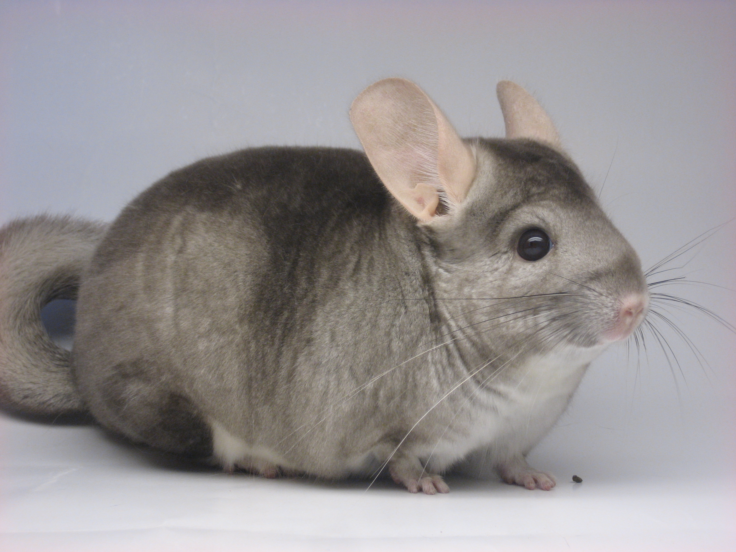Pin Chinchilla Silver Golden Et Exotcs Shorthair Photo on ...